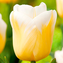 Tulip Bulbs - Yellow Collection