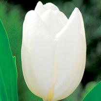 Tulip Bulbs - Hakuun