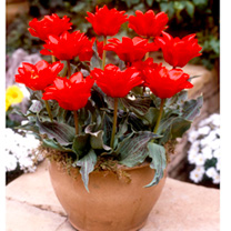Tulip Bulbs - Dwarf Double Red Riding Hood