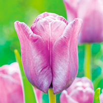 Tulip Bulbs - Bleu Aimable