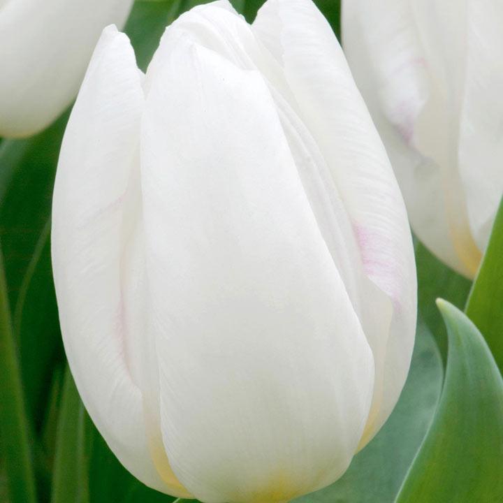 Tulip (Early Single) Bulbs - White Prince