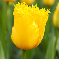 Tulip (Fringed) Bulbs - Hamilton