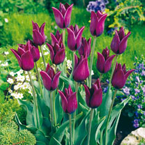 Tulip (Early) Bulbs - Havran