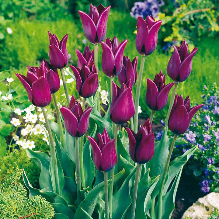 Tulip (Early) Bulbs - Havran