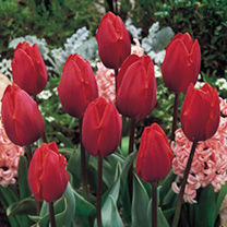 Tulip Bulbs - Colour Cardinal