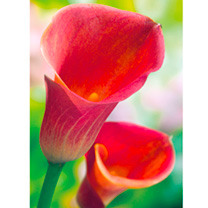 Zantedeschia Captain Red Romance 10