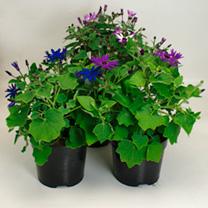 Senetti Plant