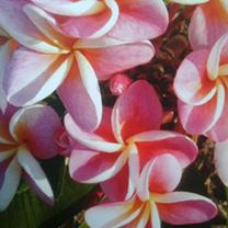 Plumeria Plant - Divine