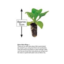 Stock Plants - Sugar & Spice
