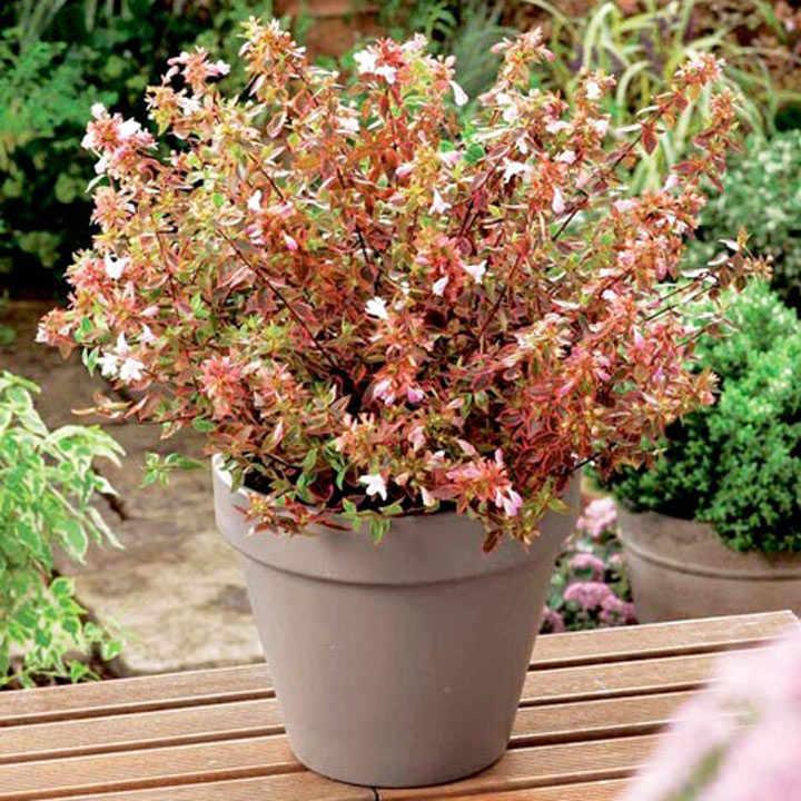 Abelia Plant - Sunshine Daydream