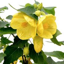 Abutilon Plant - Julia