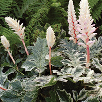 Acanthus Plant - Whitewater