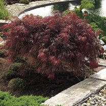 Acer Palmatum Plants - Collection