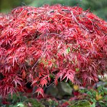 Acer Palmatum - Atropurpureum