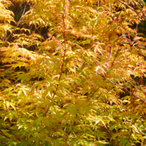 Click to view product details and reviews for Acer Palmatum Plant.