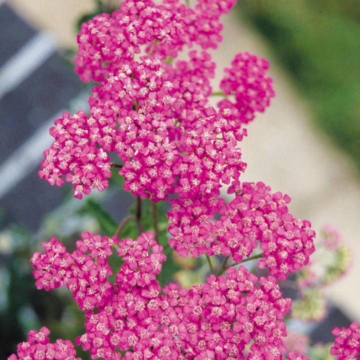Achillea Plant - Lilac Beauty