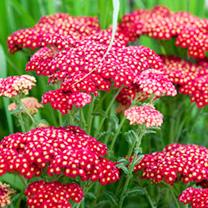 Achillea Plant - Red Velvet
