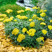 Potted Perennial Plants - Yellow Collection