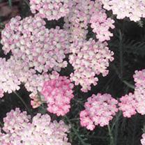 Achillea Plant - Wonderful Wampee