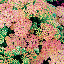 Achillea Plant - Peachy Seduction