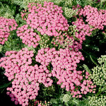 A new form which produces stunning flowers over a long period on a compact and bushy plant, what more could you ask for! The flowers start pink and ov