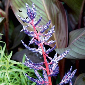 Houseplant - Aechmea Blue Rain
