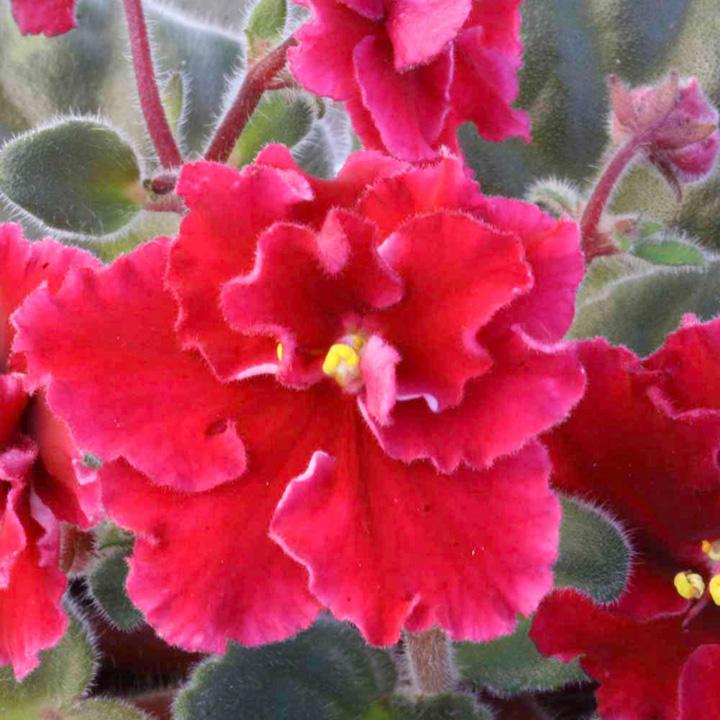 Saintpaulia Plant - Buffalo Hunt