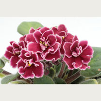 Commonly Known as African Violets, Saintpaulias are a popular choice for an indoor houseplant that will brighten up any room. Saintpaulia Bob Serpin d