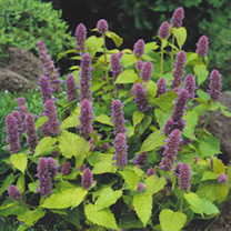 An All American award winner, whose golden-green foliage has a strong aniseed fragrance. The easy-to-grow, long-lived plants bloom year after year. He