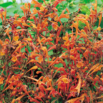 Agastache Plant - Apricot Sprite