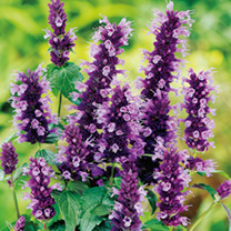 Agastache Plant - Black Adder