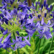 Agapanthus Plant - Northern Star
