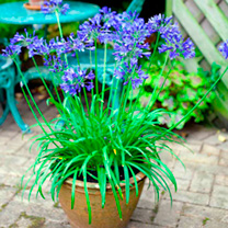 Potted Perennial Plants - Blue & Yellow Collection