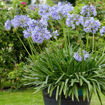 Agapanthus Plant - Brilliant Blue