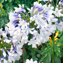 Agapanthus Plants - Collection