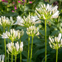 Agapanthus Plant - Snow Pixie