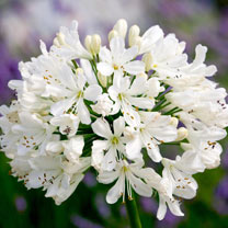 Agapanthus Plant - Snow Crystal