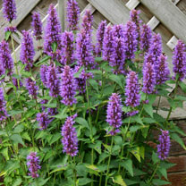 Agastache Plants - Blue Boa