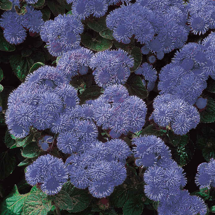 Seeds Blue Mink