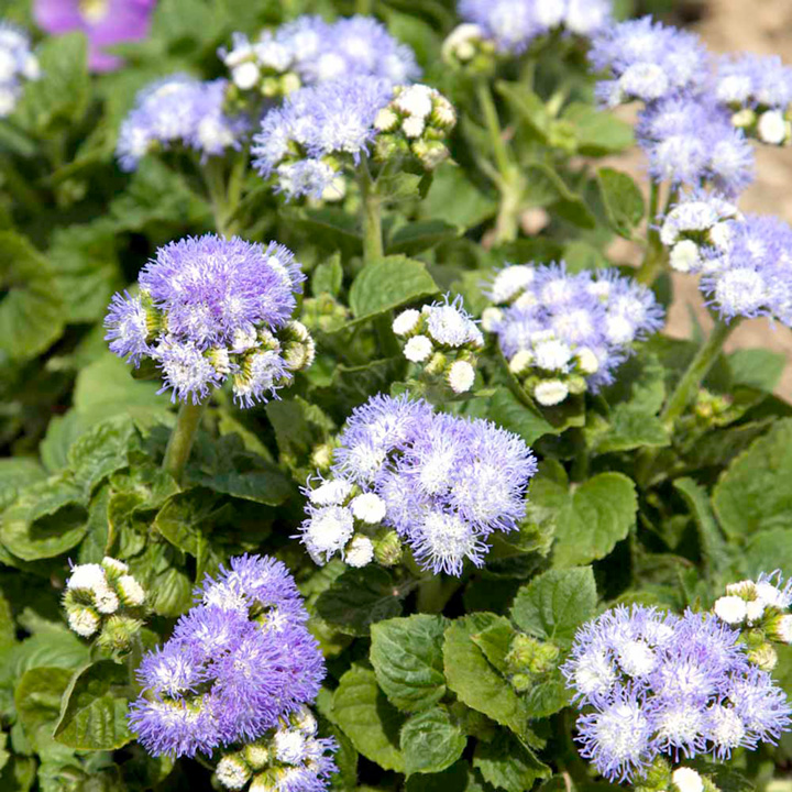 Ageratum Seeds - F1 Fields of Dreams