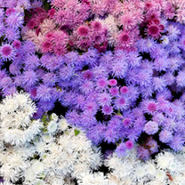 Ageratum Plants - F1 Haze Mixed