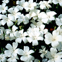 Provides contrast to other border plants. Ideal for cutting. Height 120cm (47). An imposing and easy-to-grow border filler in a pure white. Single flo