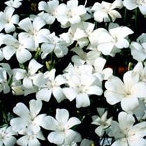 Agrostemma Seeds Snow Queen