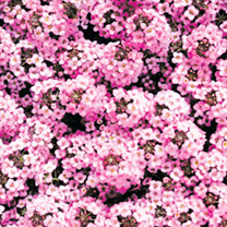 Alyssum Seeds - Wonderland Pink