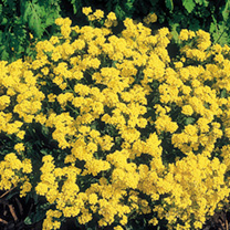 Alyssum Plants - Golden Queen