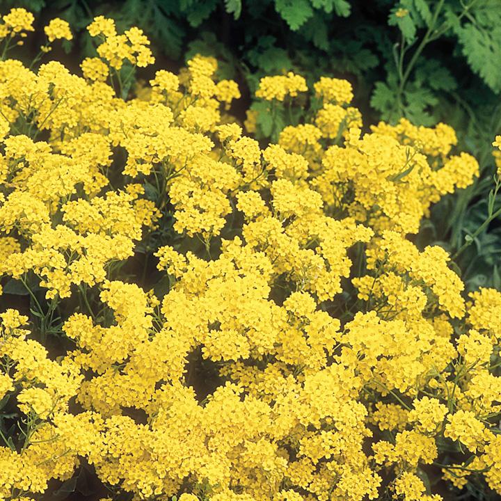 Alyssum Plants - Golden Queen