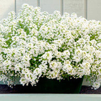 A large-flowered tetraploid type with delicately scented, clear white flowers and a vigorous, cascading growth habit. Its ideal for hanging baskets an