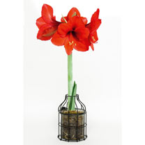 Amaryllis Bulb in Metal Outer