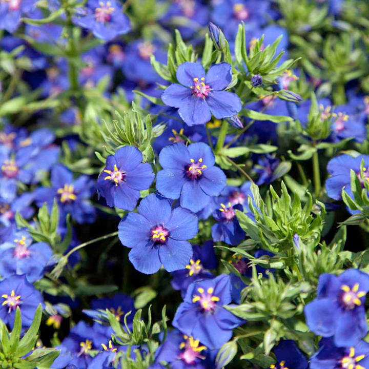 Anagallis Seeds - Blue Pimpernel