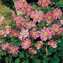 Anemone Plant- Prinz Heinrich